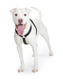 Dogo Argentino Dog Wearing Black Harness Stock Afbeelding