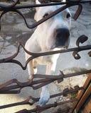 Dogo Argentino royaltyfria bilder