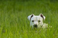 Dogo argentino in grass Stock Photography