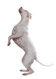 Dogo Argentino Stock Image