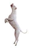 Dogo Argentino Royalty Free Stock Images
