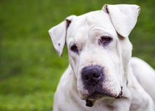 Dogo Argentino. Laying on the grass stock images