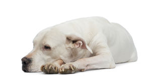 Dogo Argentino lying and looking away Royalty Free Stock Photos