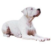 Dogo Argentino Stock Photography