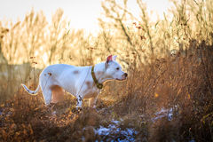 Dogo argentino in the meadow Stock Photo
