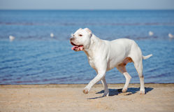 Dogo argentino na plaży Fotografia Royalty Free