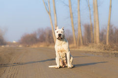 Dogo argentino. Portrait in nature royalty free stock photos