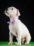 Dogo Argentino puppy. Puppy of Dogo Argentino breed Royalty Free Stock Images