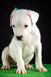 Dogo Argentino puppy. Puppy of Dogo Argentino breed Royalty Free Stock Image