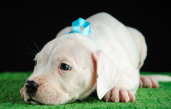 Dogo Argentino puppy. Puppy of Dogo Argentino breed Stock Image