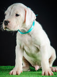 Dogo Argentino puppy. Puppy of Dogo Argentino breed Stock Photo