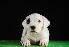 Dogo Argentino puppy. Puppy of Dogo Argentino breed Royalty Free Stock Photo