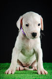 Dogo Argentino puppy. Puppy of Dogo Argentino breed Stock Photography