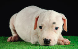 Dogo Argentino puppy. Puppy of Dogo Argentino breed Stock Photos