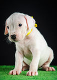 Dogo Argentino puppy Royalty Free Stock Image