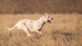 Dogo Argentino in run Stock Image