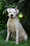 Dogo Argentino sitting. On a green background summer stock images
