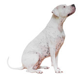 Dogo Argentino Royalty Free Stock Photo