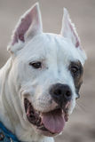 Dogo argentino. Six months argentinian dog portrait Stock Images