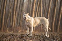 Dogo Argentino skogstående Fotografering för Bildbyråer
