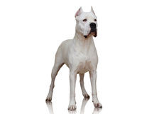 Dogo Argentino stand  on white background Stock Images