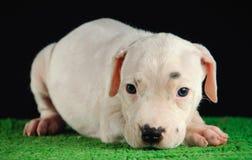 Dogo Argentino szczeniak Zdjęcia Stock