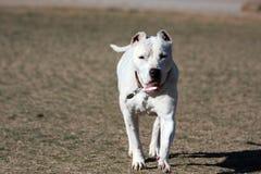 Dogo Argentino, welches die Ohren gerade geerntet spielt Stockfotografie