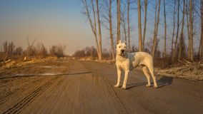 Dogo argentino in wood Royalty Free Stock Photos