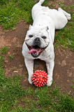 Dogo blanco que miente en el estómago con la bola roja Imagenes de archivo