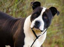 Dogo blanco y negro Amstaff foto de archivo libre de regalías