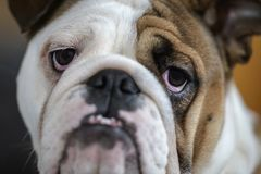 Dogo británico Foto de archivo libre de regalías