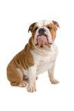 Dogo británico Imagen de archivo
