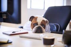 Dogo británico vestido como escritorio de Looking Sad At del hombre de negocios imagen de archivo libre de regalías