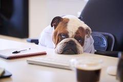 Dogo británico vestido como escritorio de Looking Sad At del hombre de negocios imágenes de archivo libres de regalías