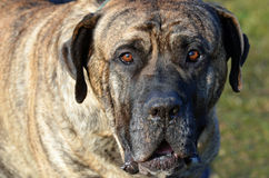 Dogo Canario. Portrait of a male Dogo Canario royalty free stock image
