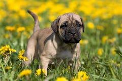 Dogo Canario puppy Stock Image