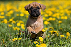 Dogo Canario puppy. In yellow dandelions royalty free stock photo
