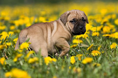 Dogo Canario puppy Royalty Free Stock Images