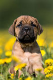 Dogo Canario puppy. In yellow dandelions royalty free stock photography