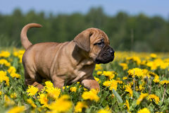 Dogo Canario puppy. In yellow dandelions stock photography