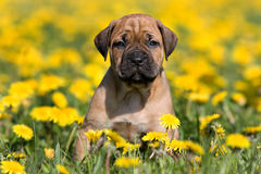 Dogo Canario puppy royalty free stock photo