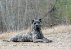 Dogo canario ! royalty free stock image