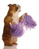 Dogo con los pompoms fotografía de archivo