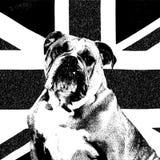 Dogo de la unión Imagen de archivo libre de regalías