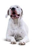 Dogo de mentira Argentino Imagenes de archivo