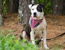Dogo de Pitbull Terrier del americano con el pañuelo de la bandera americana Imagenes de archivo