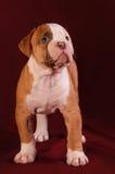 Dogo del americano del perrito Fotografía de archivo