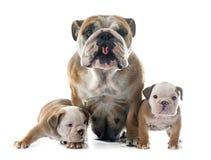 Dogo del inglés de la familia Imagen de archivo libre de regalías