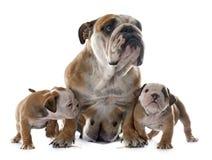 Dogo del inglés de la familia Fotografía de archivo libre de regalías