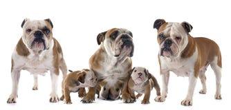 Dogo del inglés de la familia Imágenes de archivo libres de regalías